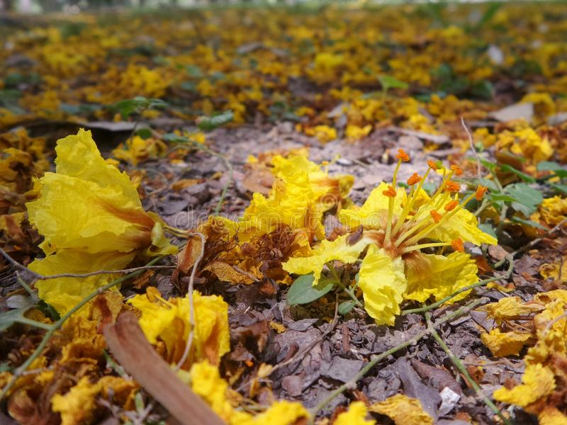 Falling yellow copper pod flowers on park ground in summer of download falling yellow copper pod flowers on park ground in summer of thailand stock photo mightylinksfo Gallery