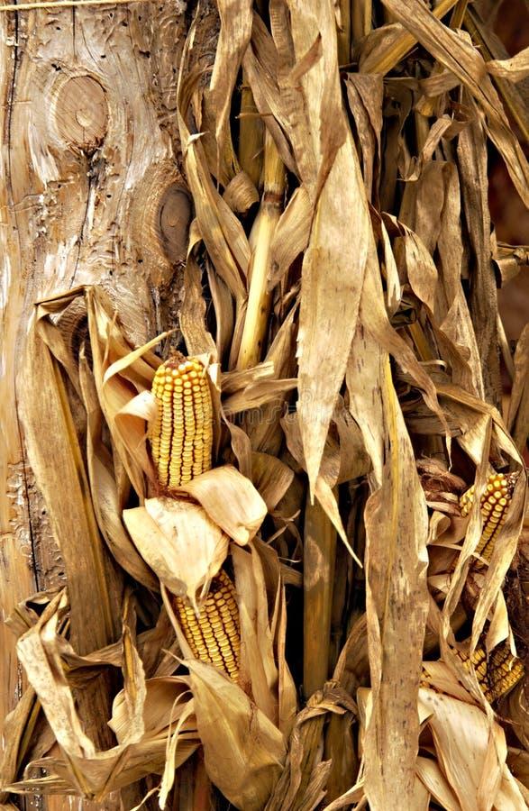 Fallmaishülsen und getrockneter Mais stockbild
