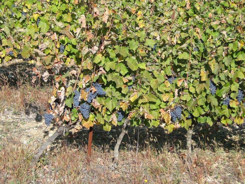 fallnapaen rows vinevingårdyellow royaltyfria foton