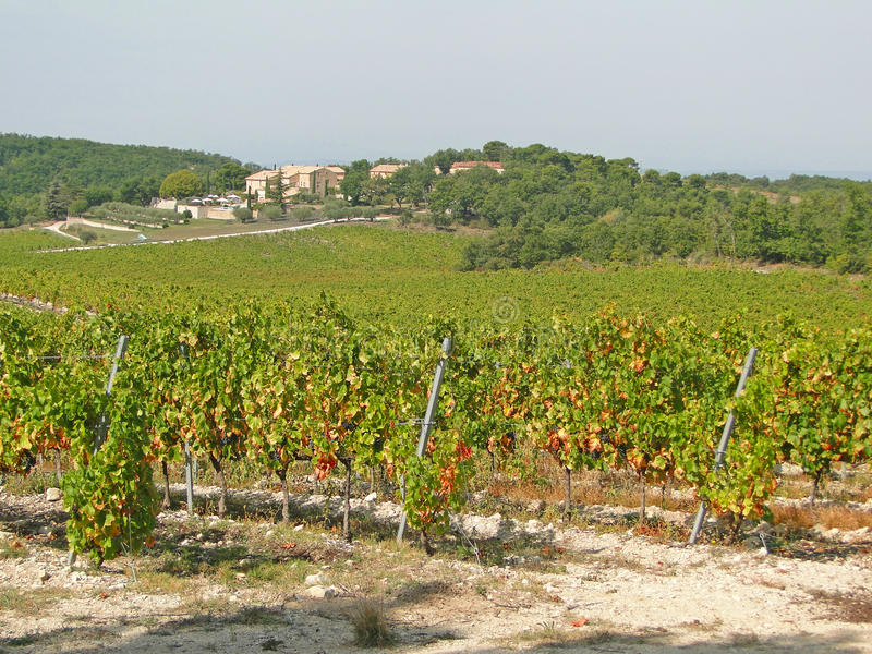 fallnapaen rows vinevingårdyellow arkivbild