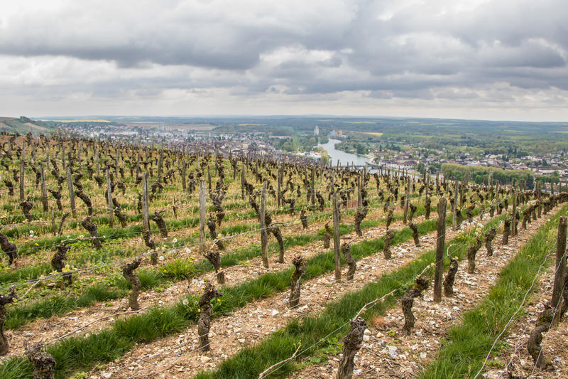 fallnapaen rows vinevingårdyellow arkivbilder