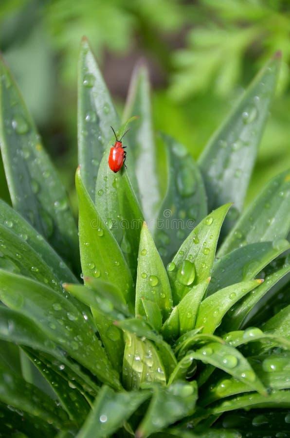 Fallo de funcionamiento rojo del escarabajo de hoja del lirio foto de archivo