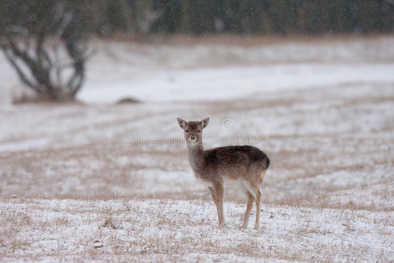 Fallow Deer stock image