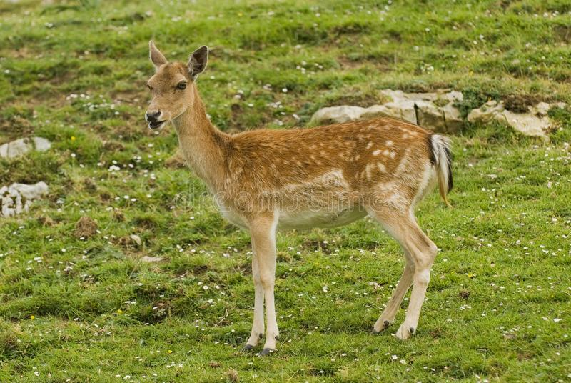 Download Fallow Deer stock photo. Image of fawns, copy, color - 16069922
