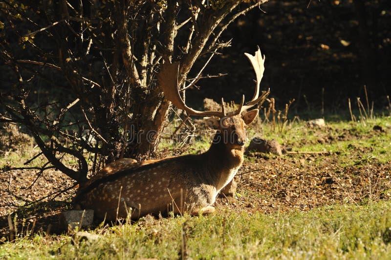 Download Fallow Deer Stock Images - Image: 16717944
