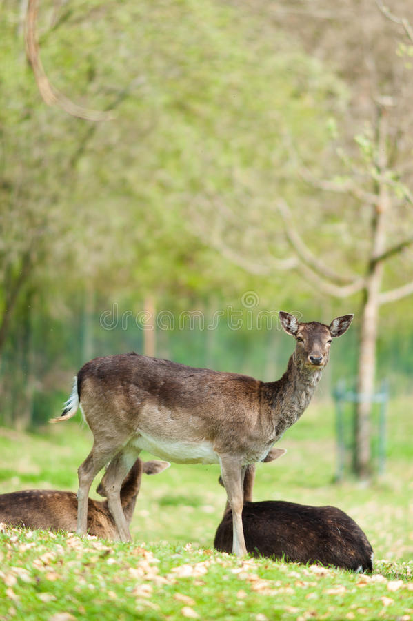Download Fallow Deer stock photo. Image of animal, outdoor, mammal - 24821180