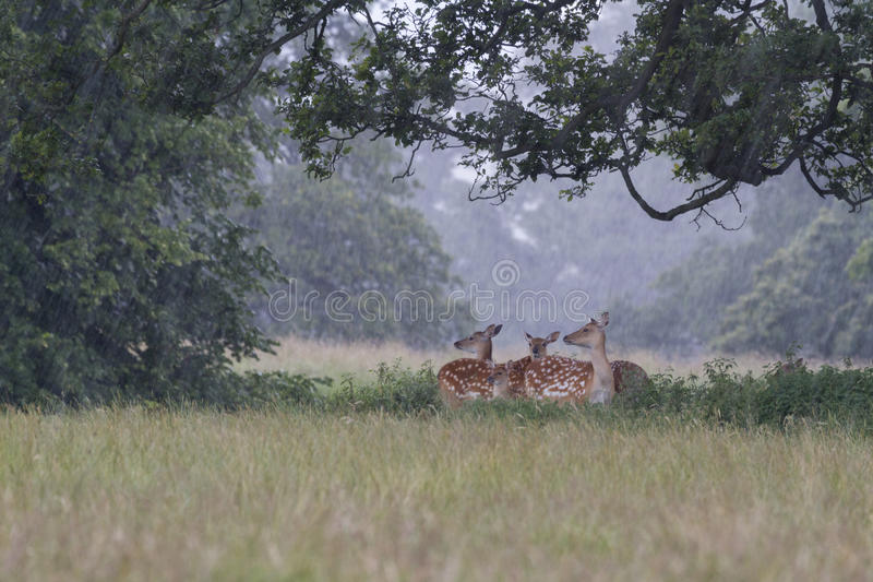 Download Fallow Deer stock image. Image of green, hooved, wood - 26131639