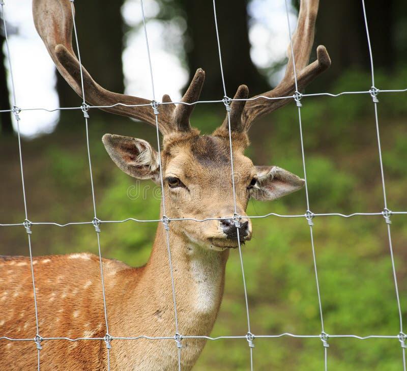Free Fallow Deer Stock Photos - 40789843