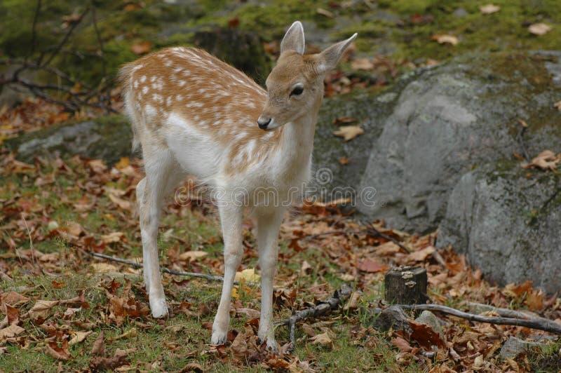 Download Fallow Deer Stock Photo - Image: 6787150