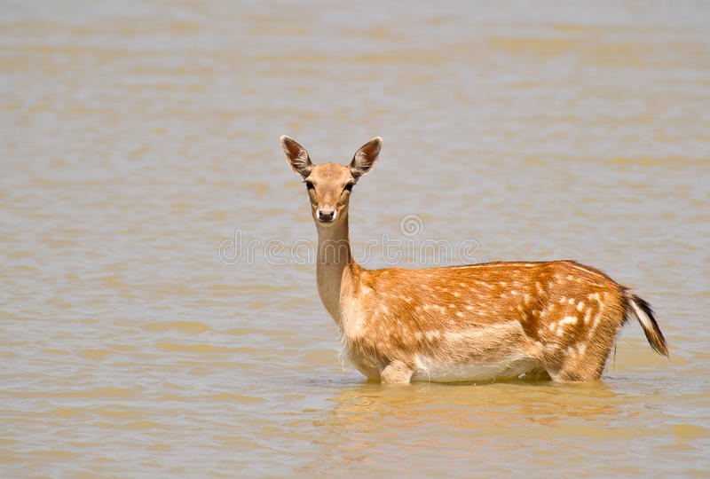 Fallow Deer On Alert Stock Images