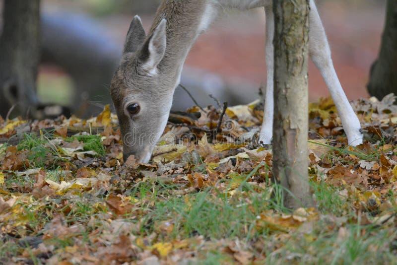 Fallow deer in Amsterdamse Waterduinen stock photo