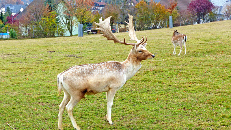 Fallow deer in an animal enclosure. In Ore Mountains in Germany, fallow deer buck an a female animal in summer coat royalty free stock images