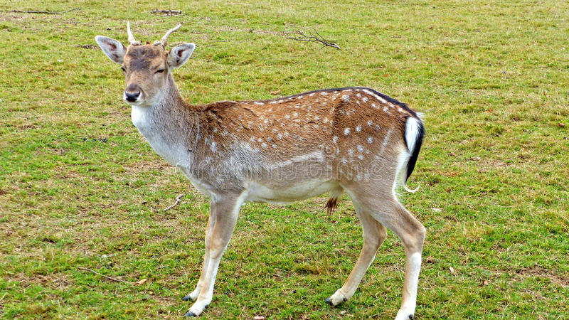 Fallow deer in an animal enclosure. In Ore Mountains in Germany, buck with growing antlers in summer coat, closeup royalty free stock image
