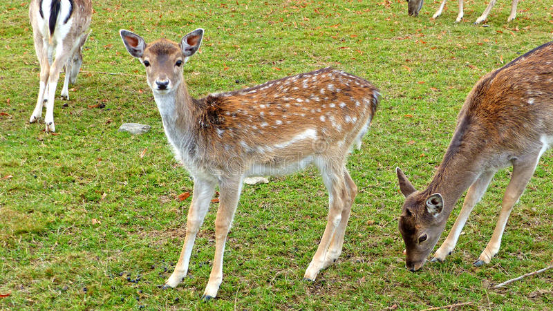 Fallow deer in an animal enclosure. In Ore Mountains in Germany, female animals in summer coat, closeup stock photography
