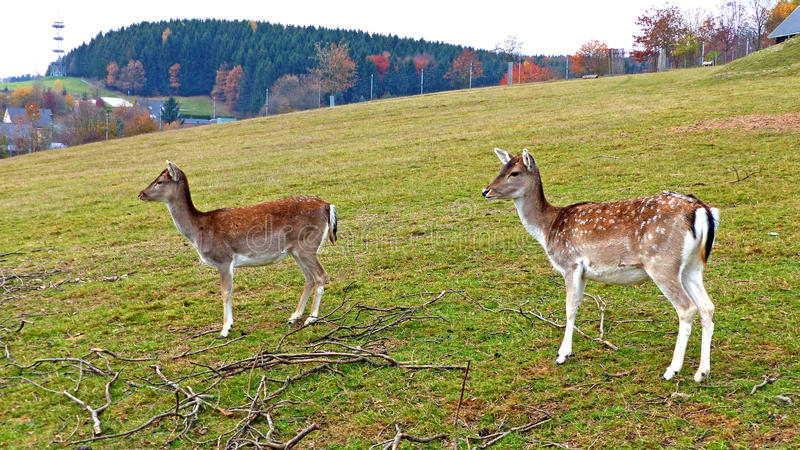 Fallow deer in an animal enclosure. In Ore Mountains in Germany, two female animals in summer coat royalty free stock photography