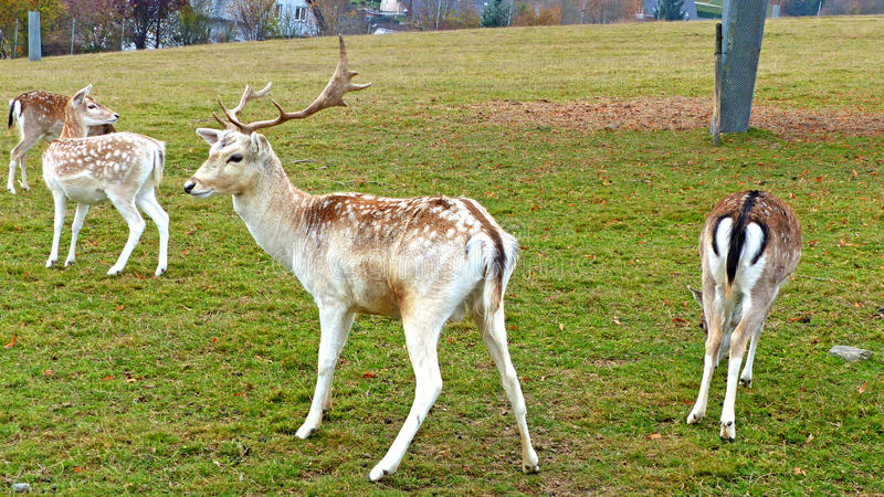 Fallow deer in an animal enclosure. In Ore Mountains in Germany, a young fallow buck and three female animals in summer coat stock images
