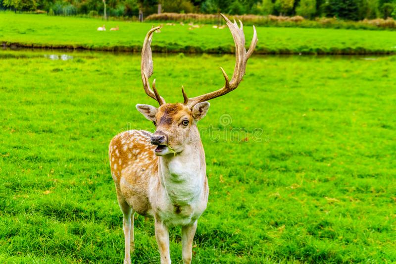 Fallow Deer with Antlers in a meadow royalty free stock images