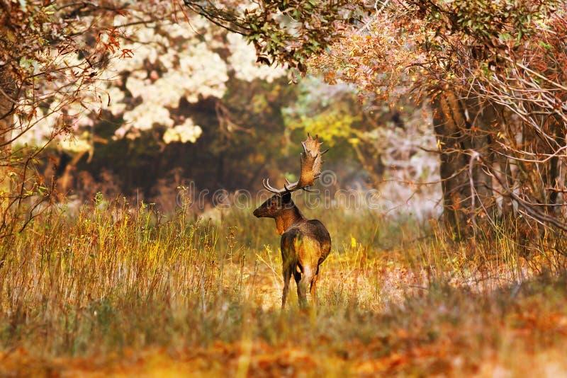 Fallow deer buck in beautiful autumn forest setting stock image