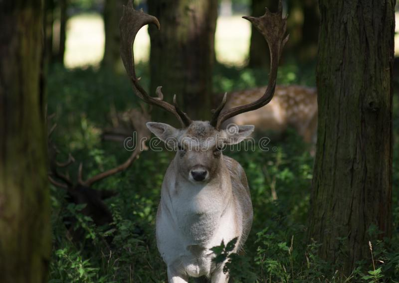 Fallow deer buck with big antlers standing in the woods royalty free stock photo