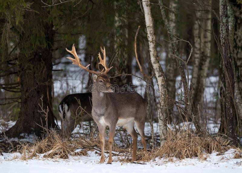 Fallow Deer Buck. Majestic Powerful Adult Fallow Deer, Dama Dama, In Winter Forest, Belarus. Wildlife Scene From Nature, Europe.A stock photography