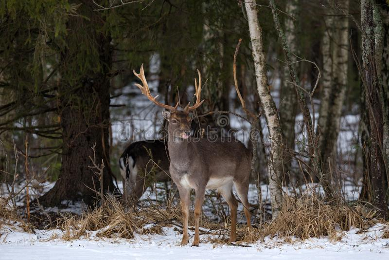 Fallow Deer Buck.Majestic Powerful Adult Fallow Deer, Dama Dama, In Winter Forest,Belarus. Wildlife Scene From Nature, Europe.Male royalty free stock photography