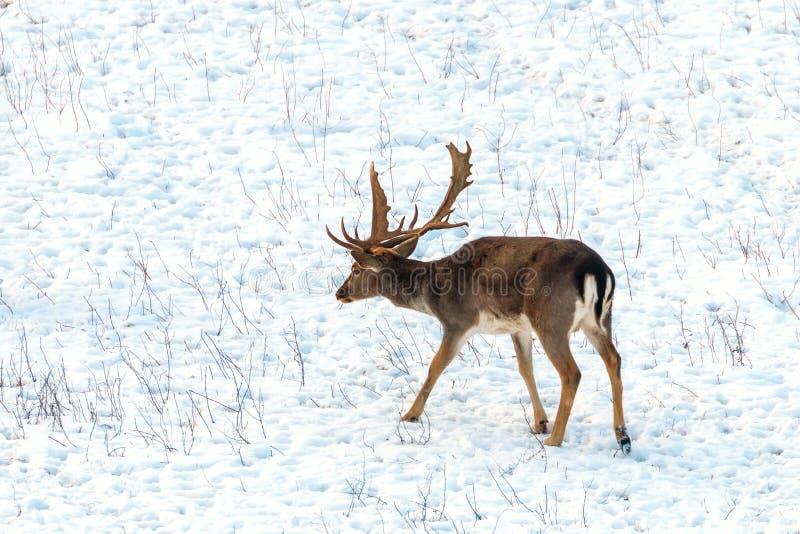 Fallow deer buck snow winter landscape Dama Dama. Wildlife royalty free stock image