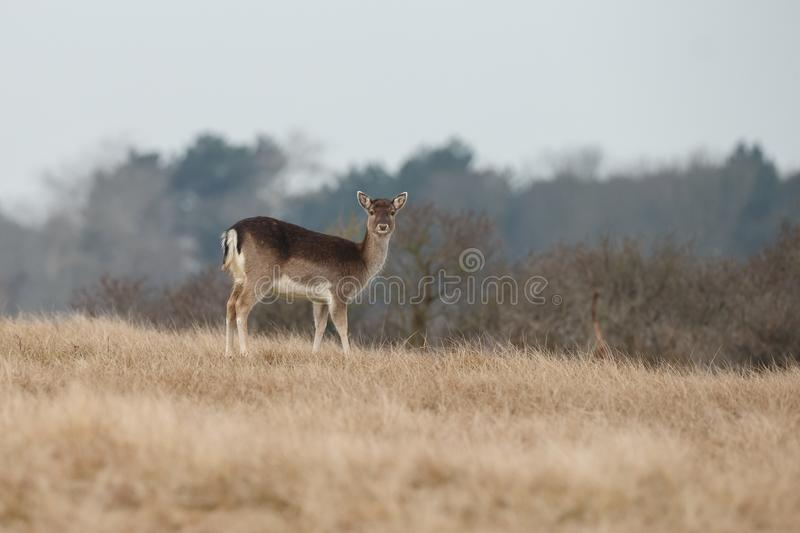 Fallow deer in water royalty free stock images