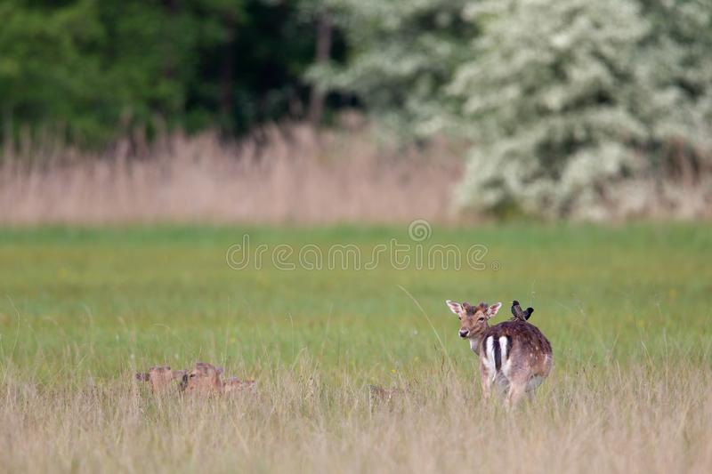 Fallow Deer Dama dama. Common starlings Sturnus vulgaris sitting on a Fallow Deer Dama dama on a meadow in spring in the nature protection area Moenchbruch near royalty free stock photography