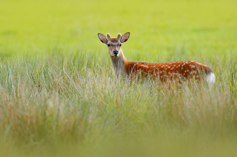 Fallow Deer, Dama dama, in autumn forest, Dyrehave, Denmark. Wildlife scene from nature, Europe. Deer in the summer grass. Animal. In grass royalty free stock images