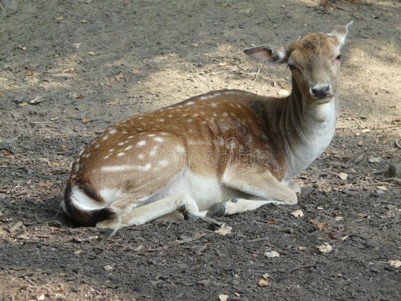 Beautiful european fallow deer [Dama dama] royalty free stock photo