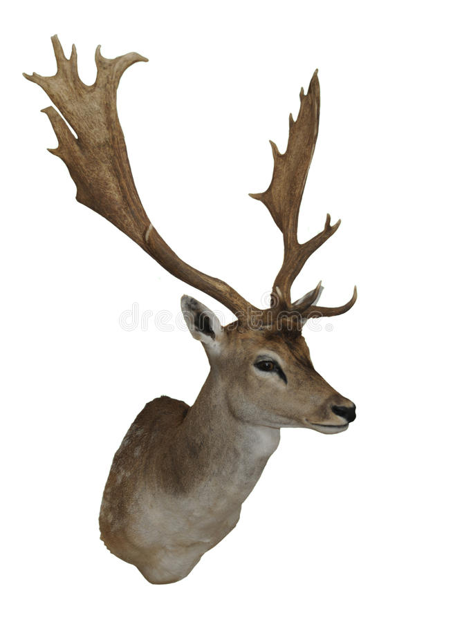 Wall-mounted Fallow deer throphy isolated on white. Wall-mounted Fallow deer, Dama dama, throphy isolated on white royalty free stock photos