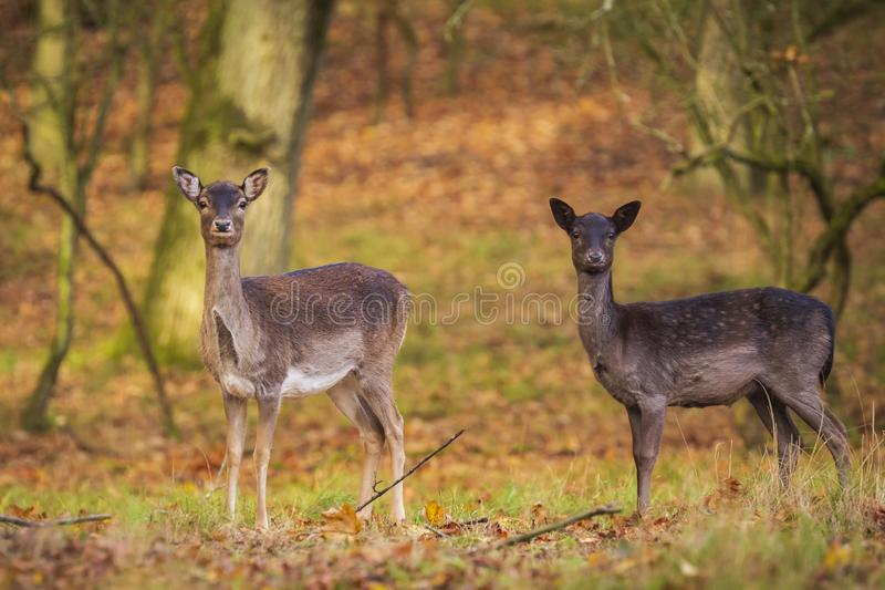 Fallow deer Dama Dama doe, hind or fawn in Autumn. Season. The Autumn fog and nature colors are clearly visible on the background stock photo