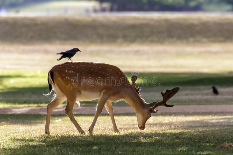 Fallow Deer (Dama dama). A Fallow deer (Dama dama) foraging in the park with a Jackdaw on its' back stock photos