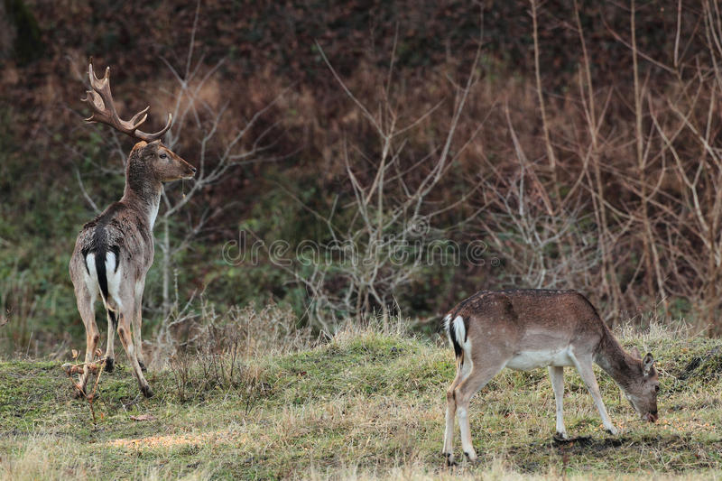 Fallow Deer (Dama dama) in the forest royalty free stock photo