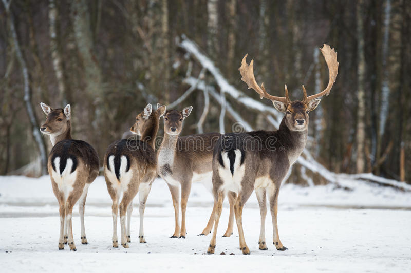Fallow Deer, Dama dama, majestic adult animal in winter forest, Belarus. Small herd of fallow deers Dama dama .A group of Fallo royalty free stock photo