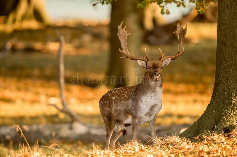 Fallow Deer, Dama dama, Male with antlers in beautiful golden light in autumn forest in Dyrehave, Denmark. stock photos