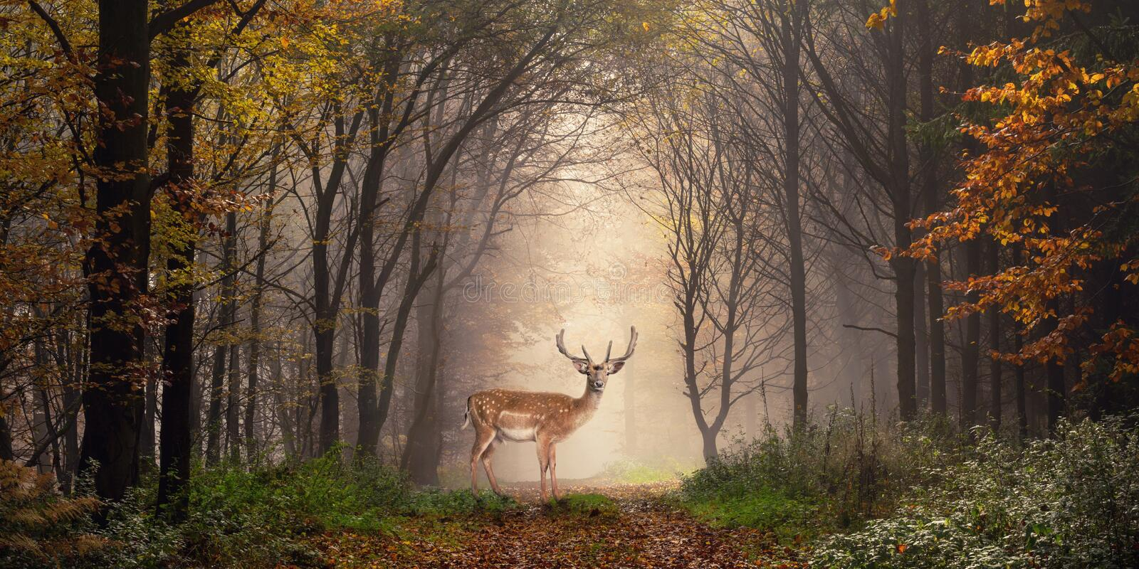 Fallow deer in a dreamy forest scene. Fallow deer standing in a dreamy misty forest, with beautiful moody light in the middle and framed by darker trees royalty free stock photography