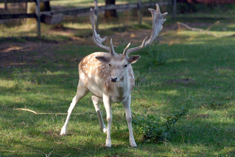 Fallow deer. Eating green grass stock photos