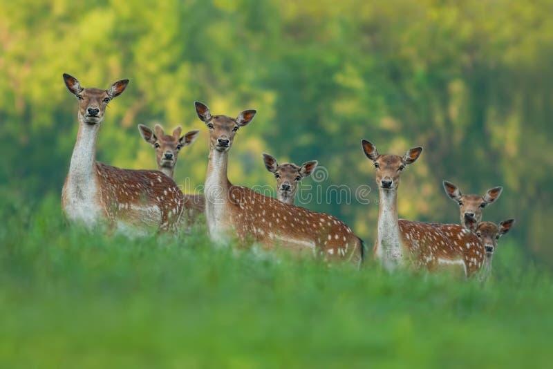 Fallow deer family - doe and fawn babies. Fallow deer family - doe mothers and fawn babies stock photography