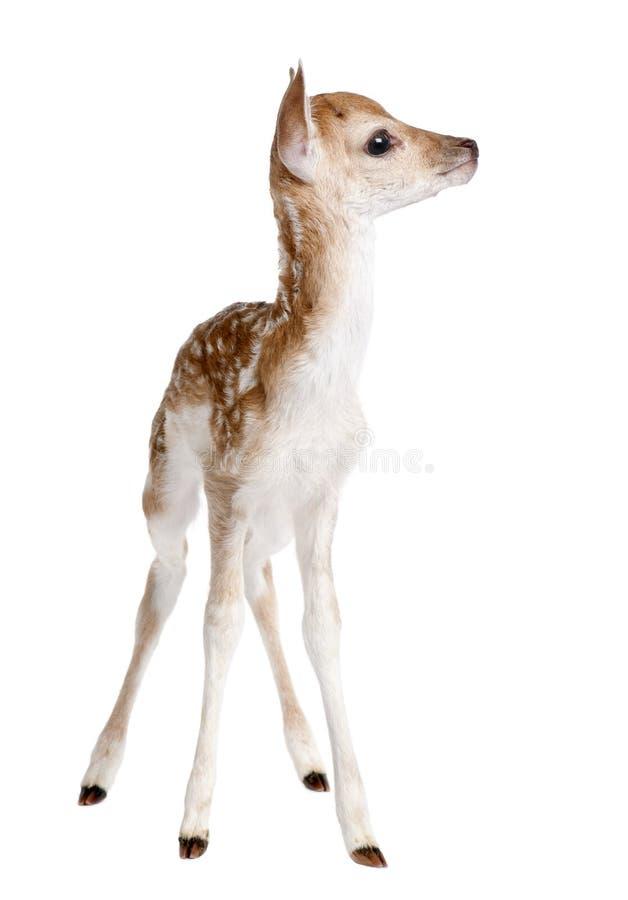 Fallow Deer Fawn - Dama dama (5 days old) royalty free stock photo