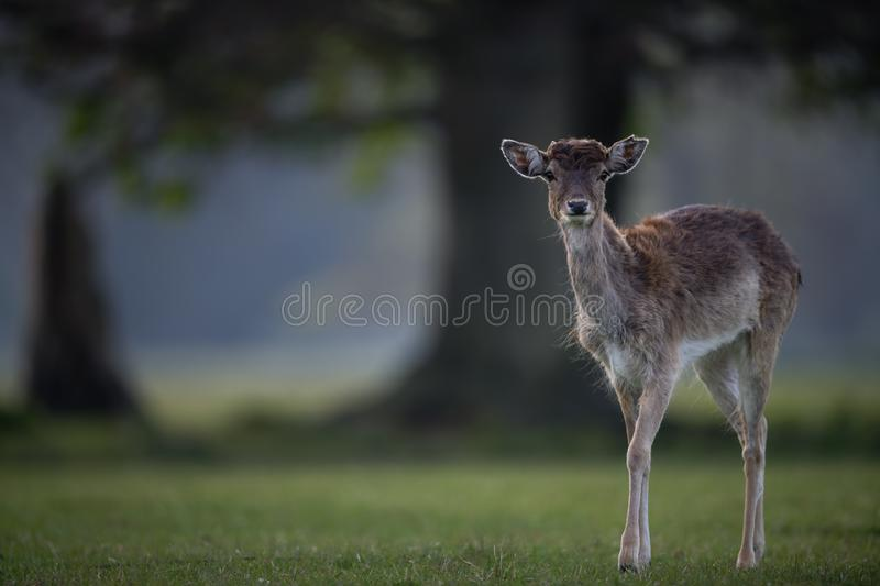 Fallow Deer Fawn near Large Tree stock images