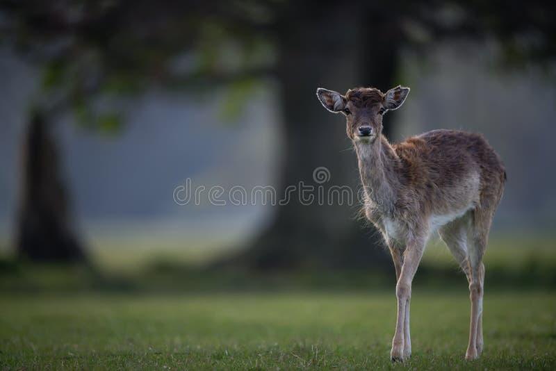 Fallow Deer Fawn obrazy stock