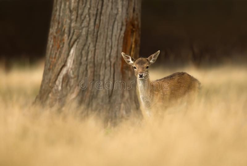 Fallow deer fawn standing in the grass stock photo