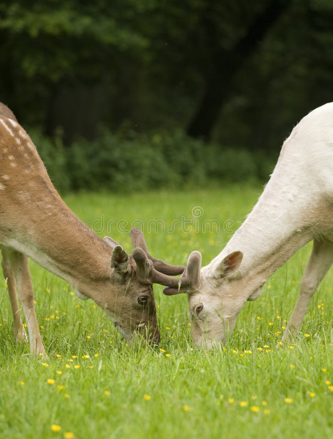 Free Fallow Deer Fawns Fighting Royalty Free Stock Photos - 5406598