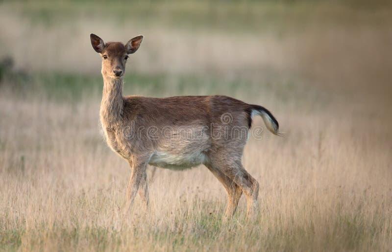 Fallow deer Female stock photos