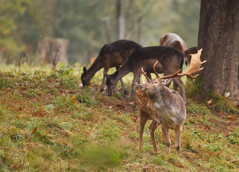 Fallow Deer With Females Stock Photography