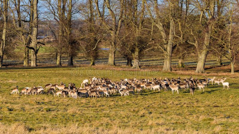 Fallow Deer Herd - Dama dama in early January. stock photography