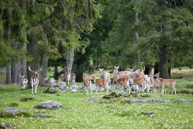 Fallow deer. A herd of fallow deer in the woods stock photos