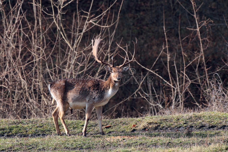 Fallow Deer,male, (Dama dama) in the forest stock photo