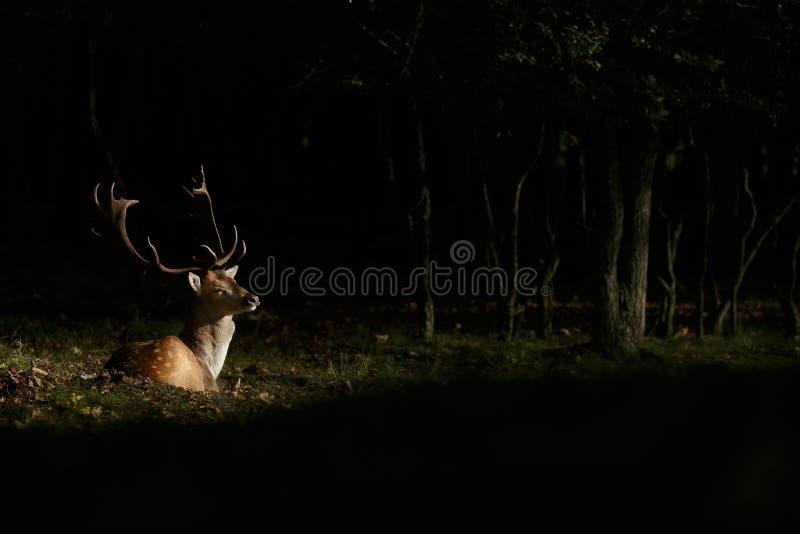 Fallow deer during mating season stock photography